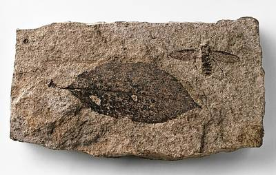 Fossilised March Fly Print by Dorling Kindersley/uig