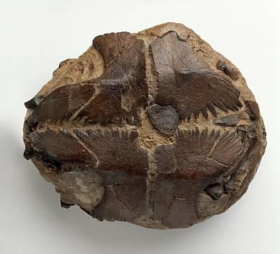 Fossilised Marine Turtle Print by Dorling Kindersley/uig