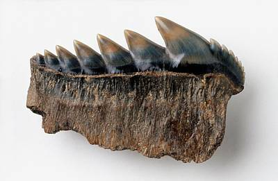 Fossilised Tooth Of Notorynchus Kempi Print by Dorling Kindersley/uig
