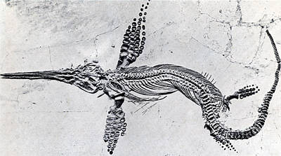 Triassic Photograph - Fossilized Ichthyosaur, Mesozoic Reptile by Science Source