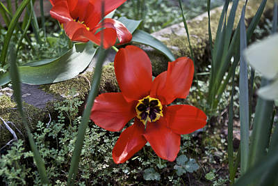 Flowers Photograph - Fosteriana Tulips Red Emperors by SC Heffner