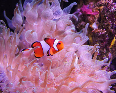 Clown Fish Photograph - Found Him by Bill Pevlor