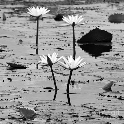 Mexico Photograph - Four Natural Water Lily Flowers Found On The East Side Of Cozumel Mexico Square Black And White by Shawn O'Brien