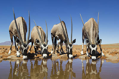 Photograph - Four Oryx Drinking Namibrand Nature by Theo Allofs