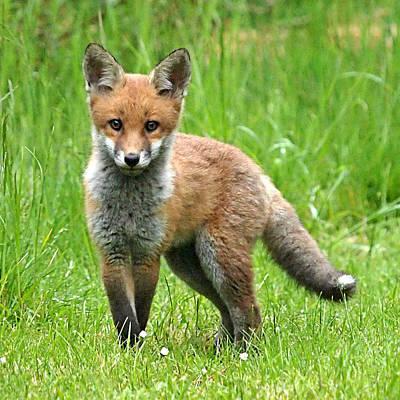 Hiding Photograph - Fox Cub Watching You by Gill Billington