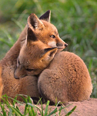Buck Photograph - Fox Cubs Cuddle by William Jobes