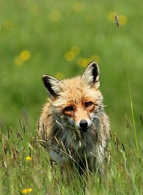Photograph - fox by Dragomir Felix-bogdan