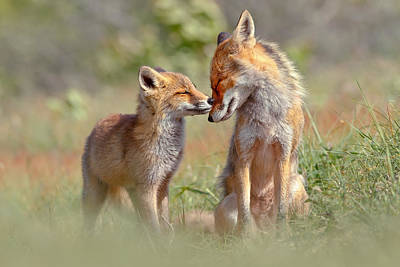 Fox  - Fox Felicity - Mother And Fox Kit Showing Love And Affection by Roeselien Raimond