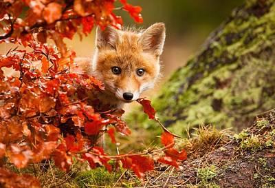 Autumn Photograph - Fox by Robert Adamec