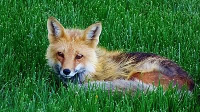 Orange Photograph - Fox by Savanna Paine