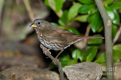 Sparrow Photograph - Fox Sparrow by Anthony Mercieca