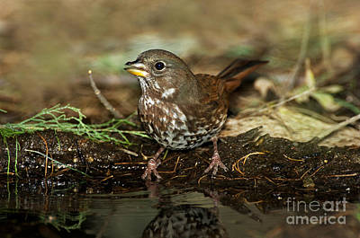 Sparrow Photograph - Fox Sparrow Drinking by Anthony Mercieca