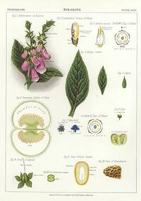 Foxglove Print by English School