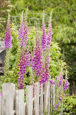 Foxglove Flowers Photograph - Foxglove Fence by Anne Gilbert