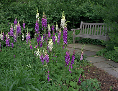 Foxglove Flowers Photograph - Foxglove Garden Path With Bench by Anna Miller