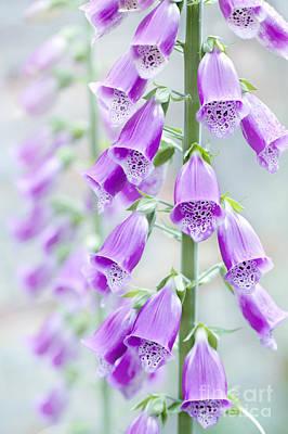 Digitalis Purpurea Photograph - Foxglove by Jacky Parker