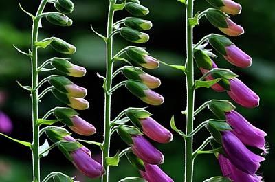 Digitalis Photograph - Foxgloves (digitalis Purpurea) In Flower by Colin Varndell