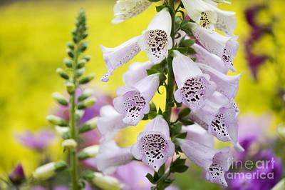 Digitalis Photograph - Foxgloves by Tim Gainey