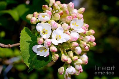Flowers Photograph - Fragrant Snowball  by Terry Elniski