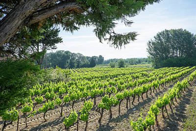 Grapevines Photograph - France, St Remy, Countryside Vineyards by Emily Wilson