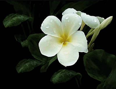 Floral Photograph - Frangipani by Marcia Colelli