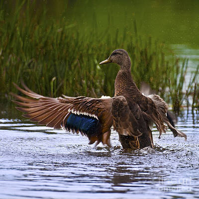 Wild Duck Photograph - Free Beauty.. by Nina Stavlund