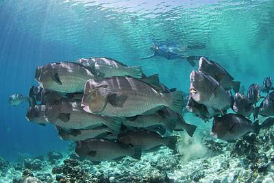 Parrotfish Photograph - Free Diver With Bumphead Parrotfish by Scubazoo