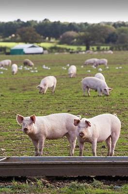 Pig Photograph - Free Range Pigs On A Farm by Ashley Cooper