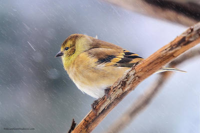 Canary Photograph - Freezing Golden Finch by LeeAnn McLaneGoetz McLaneGoetzStudioLLCcom