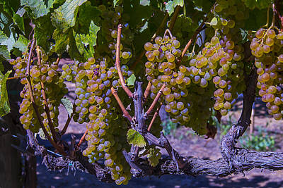 French Colombard Wine Grapes Print by Garry Gay