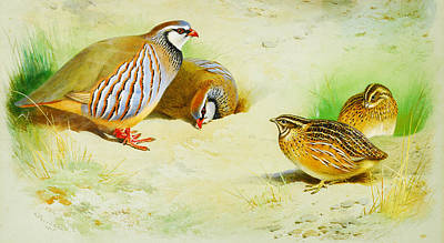 Partridge Painting - French Partridge And Chicks by Celestial Images