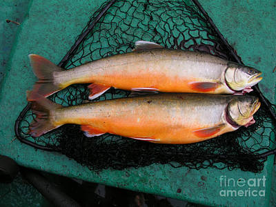 Fresh Fish Print by IB Photo