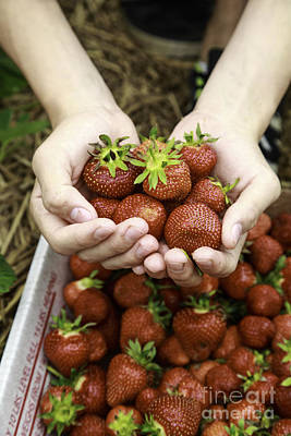 Juicy Strawberries Photograph - Fresh Picked Strawberries by Edward Fielding
