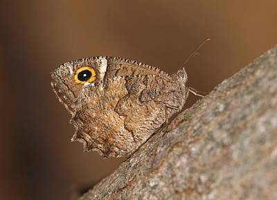 Insects Photograph - Freyer's Grayling by Meir Ezrachi