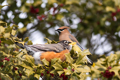 Cedar Waxwing Photograph - Friends Robin And Cedar Waxwing by Terry DeLuco