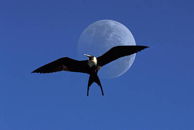 Frigatebird Moon Original by Jerry McElroy
