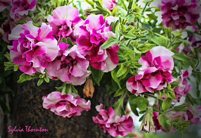 Geraniums Photograph - Frills by Sylvia Thornton