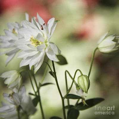 Floral Photograph - Frilly White Columbine Squared by Teresa Mucha