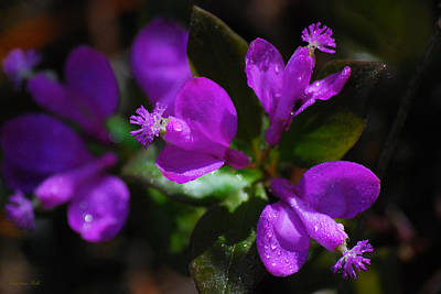 Wet Orchids Photograph - Fringed Polygala by Christina Rollo