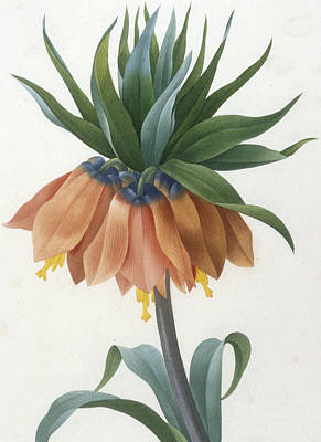 Fritillaire Imperiale Print by Pierre Joseph Redoute