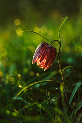 Fritillaria Meleagris Print by Davorin Mance