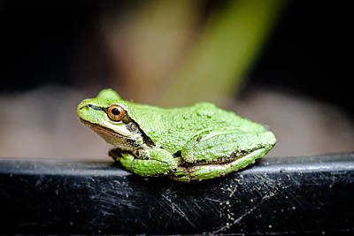 Frog 3 Print by Ronda Broatch