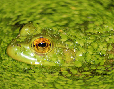 Frog In Single Celled Algae Print by Optical Playground By MP Ray