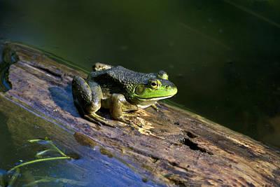 Bullfrog Photograph - Frog On A Log by Christina Rollo