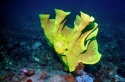 Hiding Photograph - Frogfish Camouflaged On Sponge by Georgette Douwma