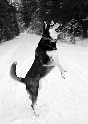 Dog In Snow Photograph - Frolicking In The Snow - Black And White by Carol Groenen