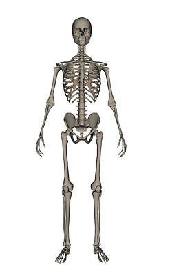 Human Skeleton Photograph - Front View Of Human Skeleton by Elena Duvernay