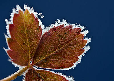 Cold Photograph - Frosted Leaf by Donna Doherty