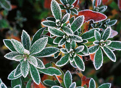 Frosted Leaves, Close-up (large Format Print by Stuart Westmorland