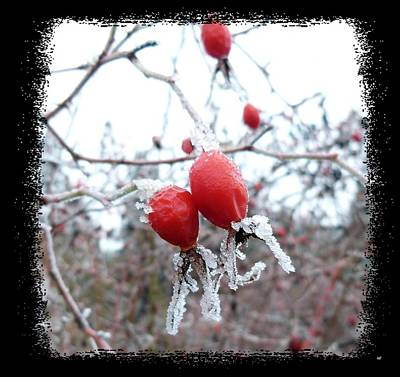 Ice Fog Photograph - Frosted Rosehips by Will Borden